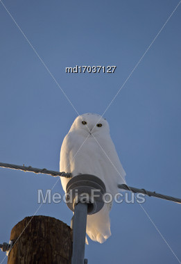 Snowy Owl On Post In Saskatchewan Canada Stock Photo