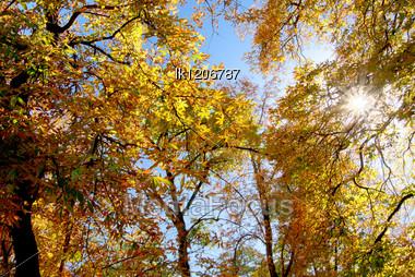 Solar Ray X-rays Through The Autumnal To Foliage Of The Tree Stock Photo