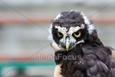 Spectacled Owl Looking Closely At The Camera Stock Photo