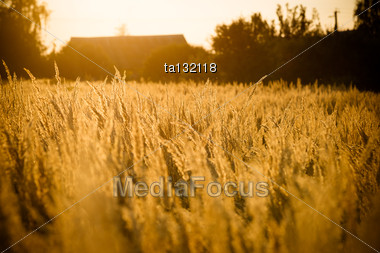 Spikes Of Grass In The Last Rays Of The Sun Stock Photo