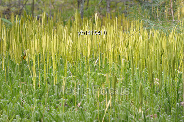 Spore-bearing Stems Lycopodium Clavatum In A Pine Forest, Close-up Stock Photo