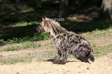 spotted hyena cub almost out of his den Stock Photo