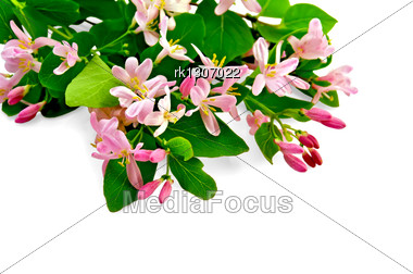 Sprigs Of Honeysuckle With Pink Flowers And Green Leaves Stock Photo