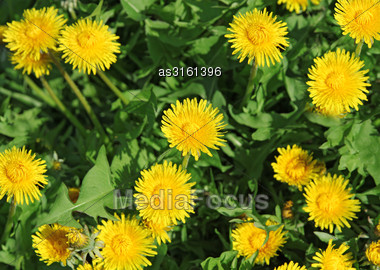 Spring Background Of Yellow Dandelion Meadow Stock Photo