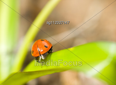 Spring Comes. Closeup Of Ladybirds Back On Grass Stock Photo