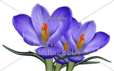 Spring Crocus Flowers Over White Background Stock Photo