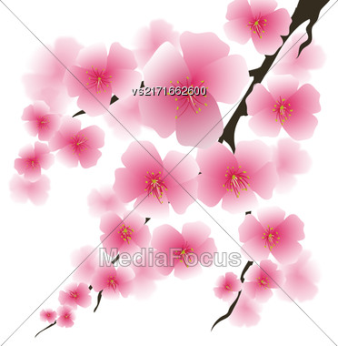 Spring Pink Flowers Isolated On White Background. Sakura Japan Cherry Tree. Blooming Pink Flowers. Branch Of Sakura Stock Photo