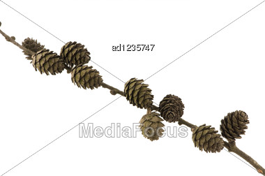 Spruce Branch With Cones Studio Shot On White Stock Photo
