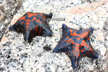 Starfish Against Rocks In The Japanese Sea In The Summer Red With The Black Stock Photo