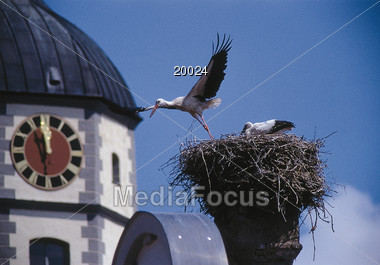 Storch Flying from his Nest Stock Photo