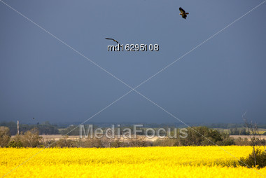 Storm Clouds Saskatchewan Bald Eagles In Flight Stock Photo