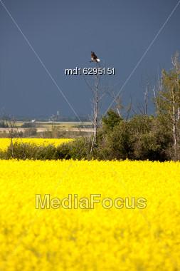 Storm Clouds Saskatchewan Bald Eagles In Flight Stock Photo