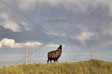 Storm Clouds Saskatchewan Prairie Scene Llama Stock Photo