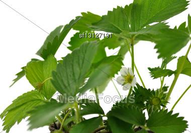 Strawberry Plant With Flowers, Close Up On White Background Stock Photo