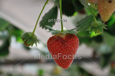 Strawberry Ready To Harvest In A Commerical Hydroponic Hothouse Stock Photo