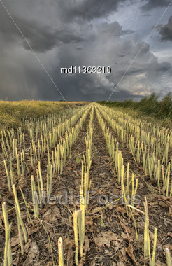 Stubble Field And Prarie Storm Canola Saskatchewan Stock Photo