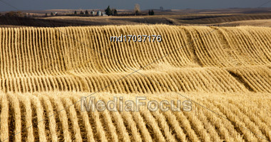 Stubble Rows Saskatchewan Farming Harvest Contour Stock Photo