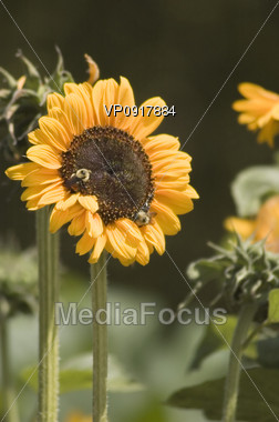 Sunflower with Insects Stock Photo