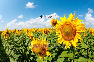 Sunflowers Field Under Bright Sky Stock Photo