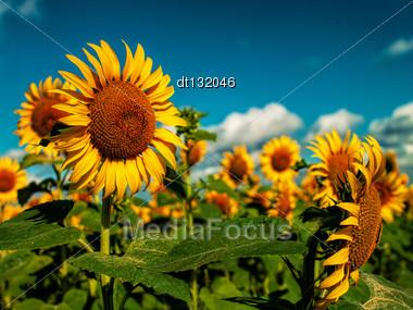 Sunflowers Field Under Golden Summer Sun Stock Photo