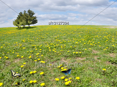 Sunny Field With Yellow Dandelion Flowers And Trees Stock Photo