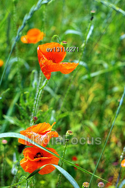 Sunny Summer Day In Meadow Full Of Blooming Poppies Stock Photo