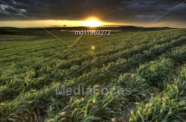 Sunset Nad Durum Wheat Crop Storm Clouds Stock Photo