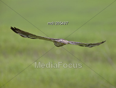 Swainson Hawk In Flight Close Up Canada Stock Photo