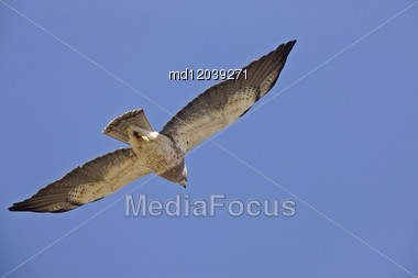 Swainson Hawk In Flight With Under Belly Canada Stock Photo