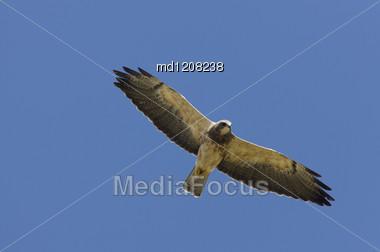 Swainson Hawk In Flight In Alberta Canada Stock Photo