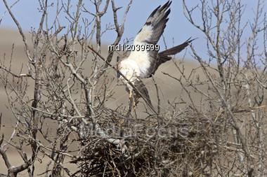Swainson Hawk In Flight Leaving Nest Stock Photo