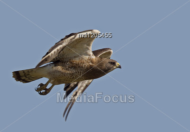 Swainson Hawk In Flight In Saskatchewan Canada Stock Photo