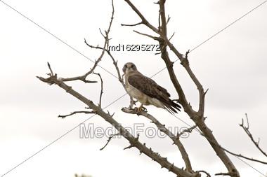 Swainson Hawk In A Tree In Saskatchewan Canada Stock Photo