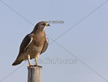 Swainson Hawk Perched On Post In Saskatchewan Canada Stock Photo
