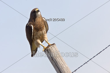 Swainson Hawk Perched On Post In Saskatchewan Canada Stock Photo