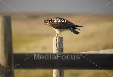Swainson Hawk On Post At Dusk In Saskatchewan Canada Stock Photo