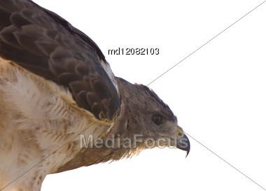 Swainson Hawk On Post In Alberta Canada Stock Photo