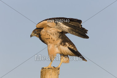Swainson Hawk On Post In Alberta Canada Stock Photo