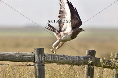 Swainson Hawk On Post Taking Flight Saskatchewan Stock Photo