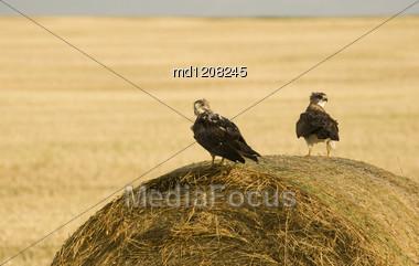 Swainson Hawks On Hay Bale After Storm Saskatchewan Stock Photo