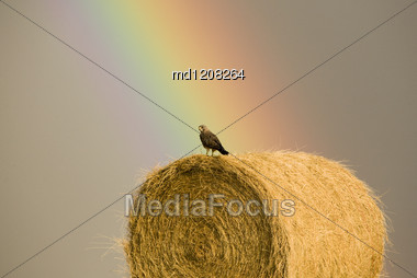 Swainson Hawks On Hay Bale After Storm Saskatchewan Rainbow Storm Stock Photo
