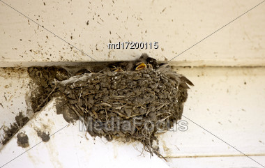 Swallow Nest With Babies Hot Day In Saskatchwan Stock Photo