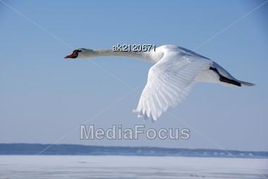 Swan In Flight Stock Photo