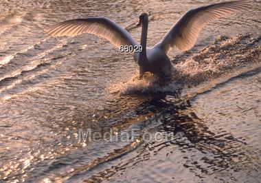 Swan landing on Water Stock Photo
