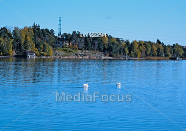 Swans On An Autumn Pond In The Suburb Of Helsinki Stock Photo