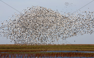 Swarm Of Snow Geese In Saskatchewan Canada Stock Photo
