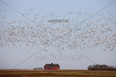 Swarm Of Snow Geese In Saskatchewan Canada Stock Photo