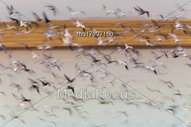 Swarm Of Snow Geese In Saskatchewan Canada Blurred Panned Stock Photo
