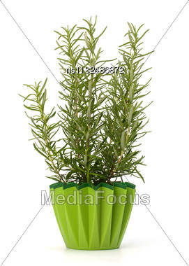 Sweet Rosemary Leaves Isolated On White Background Stock Photo