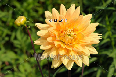 Tall Dahlia Plant With Large Flowers In The Garden Stock Photo